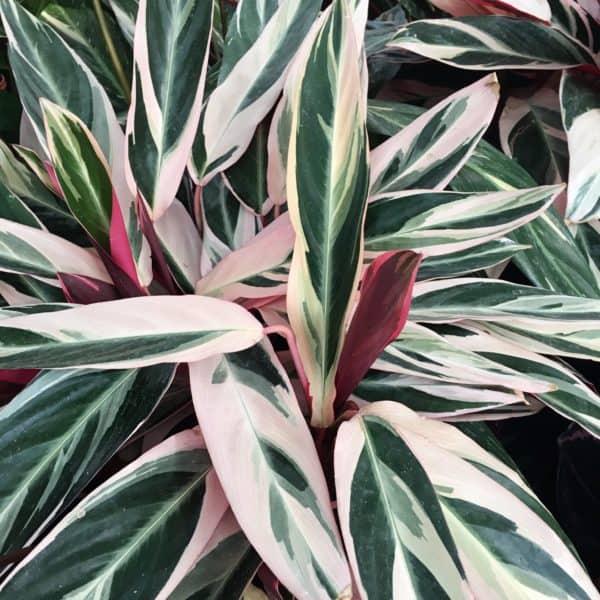 plantes calathea triostar