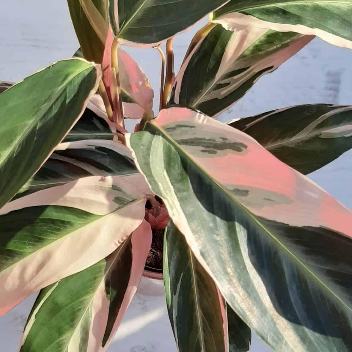 PLANTES - CALATHEA-TRIOSTAR