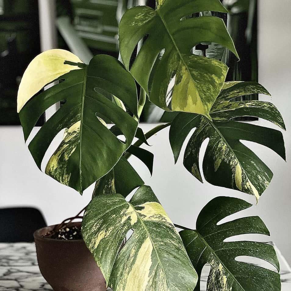 PLANTES - MONSTERA