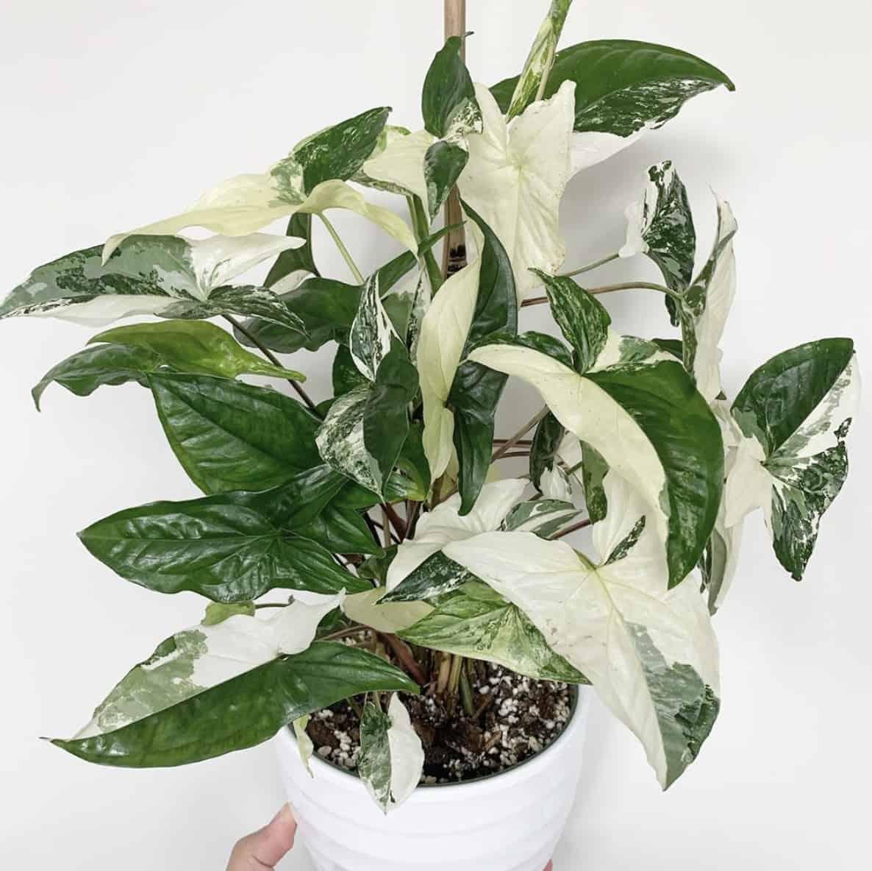 PLANTES - Vsyngoniumalbovariegata