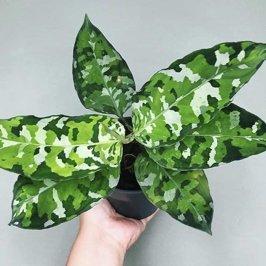 PLANTES - aglaonemapictumtricolor
