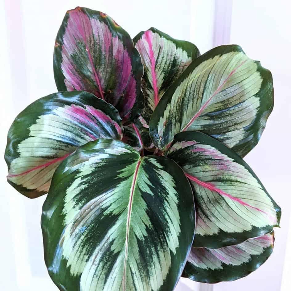 PLANTES - calathearoseopicta