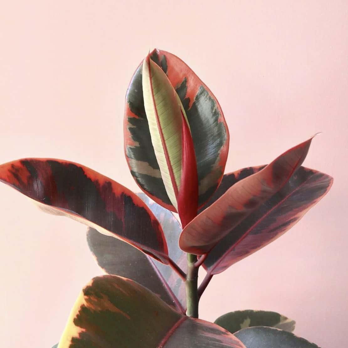 PLANTES - ficuselasticabelize